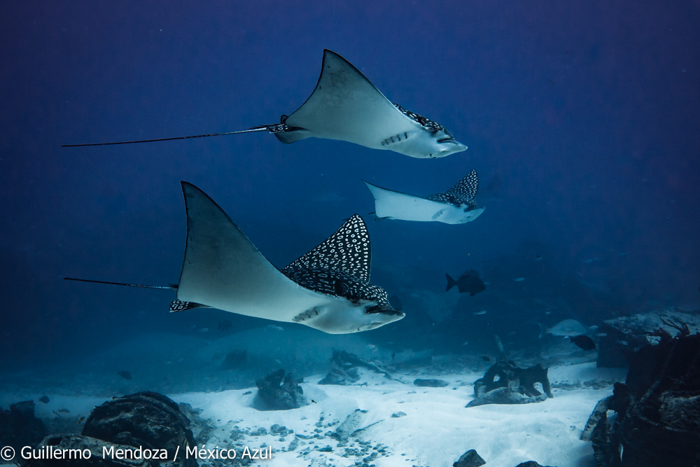 Eagle ray encounter near a shipwreck in Isla Mujeres. After freediving