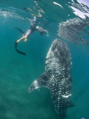 Snorkeling with whale sharks during our sailing charters