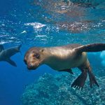 Espiritu santo sea lions freediving
