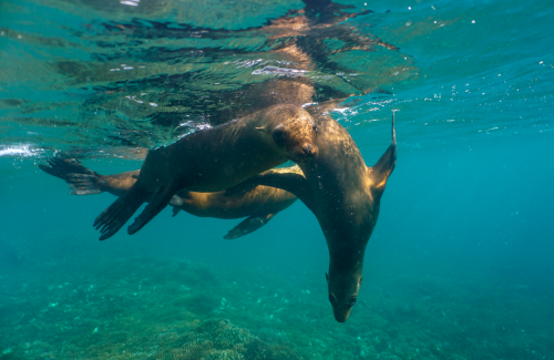 Freediving with Sea lions