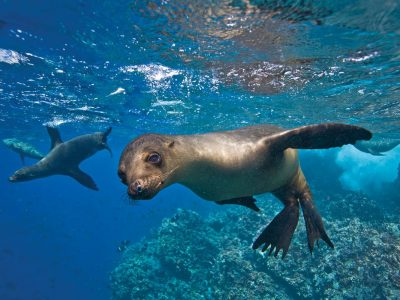 Swim with sea lions during our freediving courses