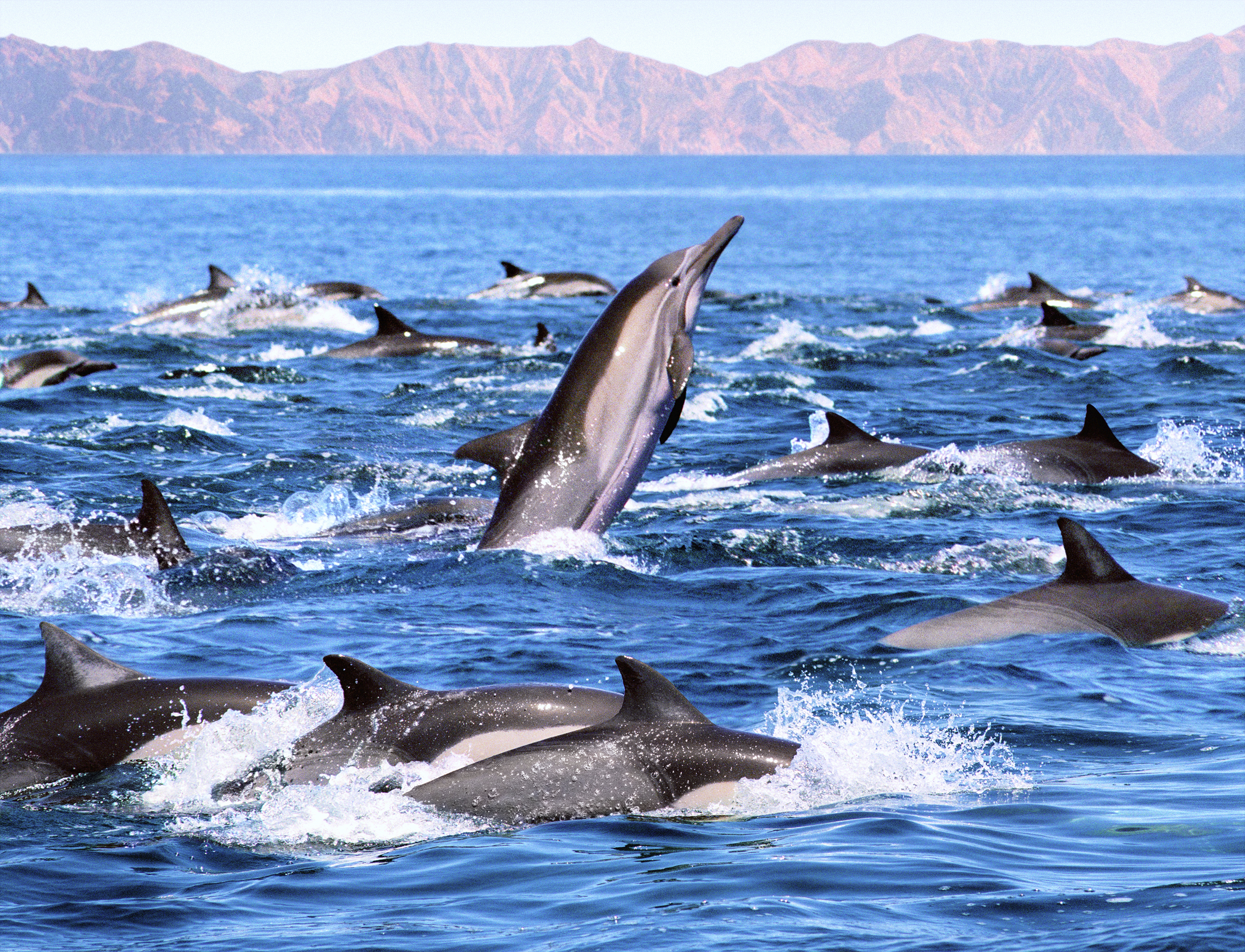 A group of common dolphins in Mexico.