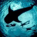 Freedive whale shark