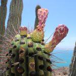 Baja California Sur cactus